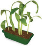 Grow Your Own Banana Tree Kit with Mini Greenhouse